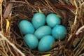 ما هو السر وراء الدجاجة التي تفقس بيضاً أزرق اللون!!؟؟
