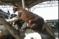 شاهد بالفيديو : رجل يحمل بغل على ظهره ويصعد به السلم