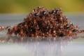 شاهد قدرة الله في أبسط المخلوقات... معشر النمل يضرب مثالاً لبني الإنسان في التعاون