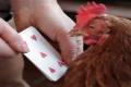 بالفيديو: دجاجة تتقن العد حتى الرقم 7