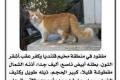 قط ضائع يُشعل ضجة إلكترونية في قلنديا - كفر عقب