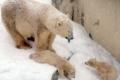تغير المناخ يسحب لقب «الملك» من الدب القطبي
