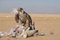 الطيور الجارحة في فلسطين...انقراضها يهدد بتكاثر الحشرات والزواحف الضارة والجيف.. وصيدها عبث بالتوازن البيئي