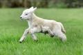 ولادة خروف بخمس قوائم في بريطانيا