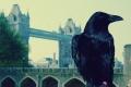أسطورة يخشى البريطانيون تحققها: «تسقط المملكة يوم تغادر الغربان البرج»