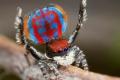 سم أحد أخطر العناكب في العالم يحمي من الوفاة
