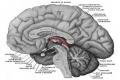 جزء من دماغ الإنسان يحذر من الخطر والمنغصات