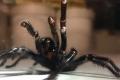 صنفٌ من العناكب العملاقة يغزو أستراليا ونحن لسنا بمأمن!