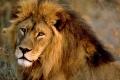 لهذا السبب سمي الأسد ملك الغابة!!
