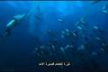 جيش عظيم من الدلافين واسماك القرش تصطاد بلايين اسماك السردين