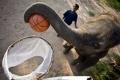 فقط في تايلاند: فيلة تلعب كرة السلة بمهارة