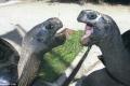 شاهد الصور... زوجان من السلاحف العملاقة ينهيان علاقة غرامية دامت أكثر من 115 عام