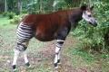 هل تعرف الحيوان الغامض الذي له رأس الزرافة وجسم الحصان وخطوط الحمار الوحشي