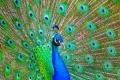 إلى ماذا ترمز ريشة الطاووس في دول العالم؟