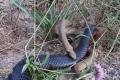 فيديو.. صائد ثعابين أسترالي يرصد قتالا حتى الموت