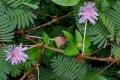 النبتة الخجولة أو نبتة لا تلمسني: نبات غريب ينكمش مباشرة عند لمسه لأسباب غير معروفة.. ...