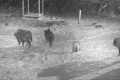 بالفيديو: مواجهة بين ذئاب وقطيع من الثيران