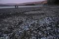 البرودة الشديدة تسبب نفوق ملايين الأسماك في السواحل الشرقية للولايات المتحدة