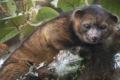 إكتشاف نوع جديد من اللبائن يعيش على أكل اللحوم في غابات كولومبيا وإكوادور