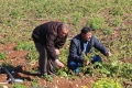 البطاطا ذهب الفارعة الأبيض في مواجهة إغراق السوق الفلسطيني بالإسرائيلية الرديئة المخصصة للأبقار