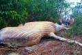 لغز مزدوج يحيّر البرازيل عن حوت وجدوه بغابات الأمازون