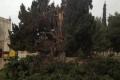 بالصور: عاصفة إندور الهائجة تقتلع الأشجار الضخمة في الحرم القدسي الشريف