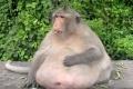 فيديو | أسمن قرد فى العالم يخضع لرجيم قاسى لانقاص وزنه
