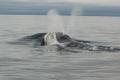 """العلماء يسجلون غناء """"الحيتان الحقيقية"""" للمرة الأولى"""