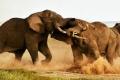 بالصور.. معركة شرسة بين الفيلة من أجل النساء والسيادة فى سهول افريقيا