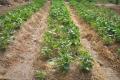 الزراعات العضوية: الرد على اللَغَط والمغالطات