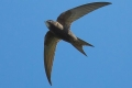 اطول رحلة طيران على وجه الارض ، اكتشاف طائر صغير يمكنه الطيران عشرة اشهر دون ...