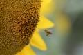 إذا انقرض النحل هلك البشر.. وهذه هي الأسباب