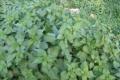 فوائد نبات القراص