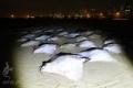 أسماك الوطواط النادرة تغزو شواطئ غزة