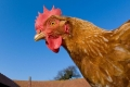 بغض النظر عما تعتقده، الدجاج ليس غبيًا