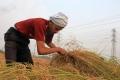 كيف يفاقم السد الإثيوبي أزمة زراعة الأرز في مصر؟