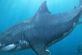 ميجالودون: لماذا انقرض أضخم وأقدم أسلاف سمك القرش على الإطلاق؟