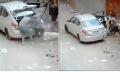 لصوص يسرقون بقرة وخروفين ويضعوهم في سيارة صغيرة... بالفيديو