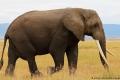 الفيلة أقل الثديات نوماً بمعدلٍ رهيب!