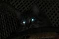 لماذا تتوهج عيون القطط في الظلام؟