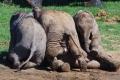 بالصور.. إياك واللعب مع الفيلة.. حتى لو كانوا صغاراً
