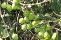 وزارة الزراعة تحدد موعد قطف الزيتون وتشغيل المعاصر
