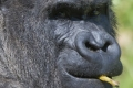 ولادة عملاق تجارة الموز في العالم