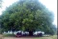 أقدم شجرة بلوط فى بلاد الشام في ذمة الله عن عمر يناهز 750 عاماً
