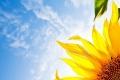 لماذا يتتبع عباد الشمس…. الشمس؟