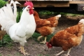 دراسة تكتشف قدرات إدراكية وحسابية للدجاج