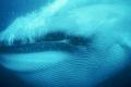 كيف أصبح الحوت الأزرق أضخم حيوان على سطح الأرض؟