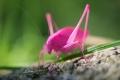 الجندب الوردي: أحد أندر وأجمل الحشرات التي يمكنك رؤيتها في الطبيعة!