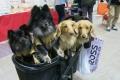 لهذه الأسباب.. كلاب اليابان حالة خاصة جدا