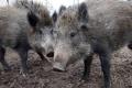 تحذير من كارثة عالمية.. حمى الخنازير الأفريقية قادمة